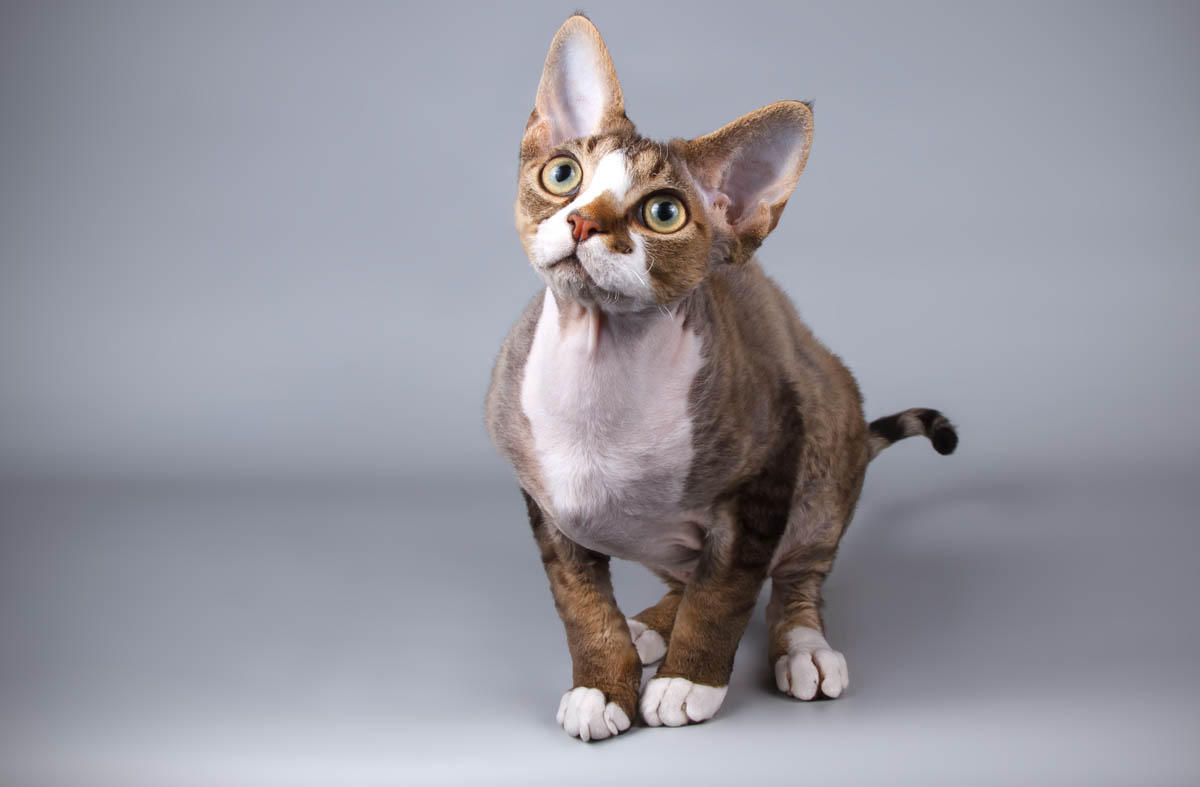 Smallest breeds of cat