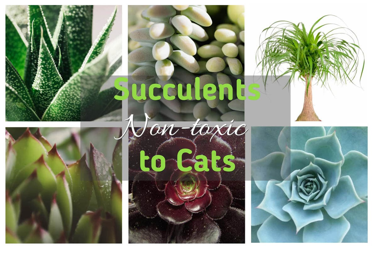 Succulents non-toxic to cats