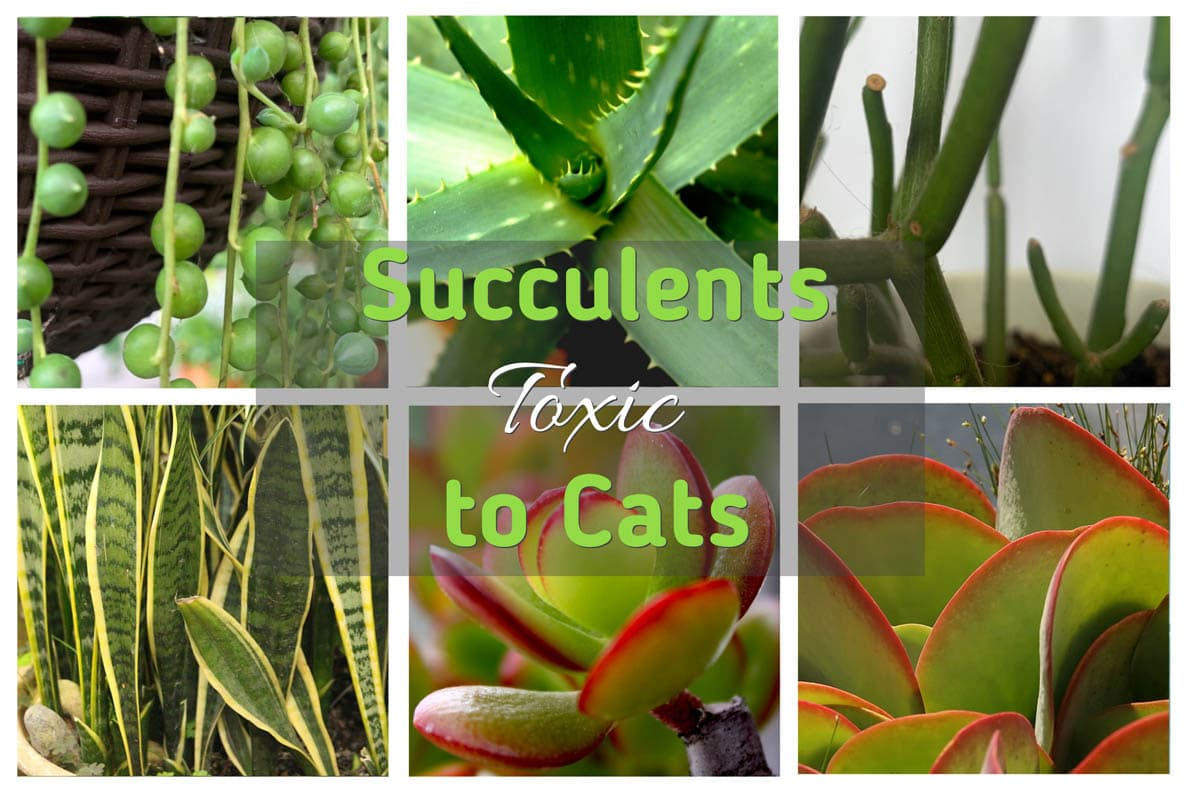 Succulents toxic to cats