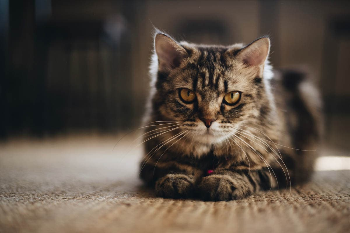 Adjusting a home for a senior cat