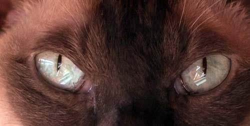 Aqua eye colour in Tonkinese cats