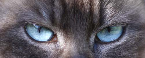 Aqua eye colour in Tonkinese cat