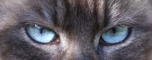 Aqua eye colour in Tonkinese cat