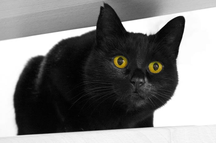 Black domestic cat