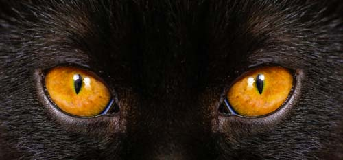 Cat with brown eyes