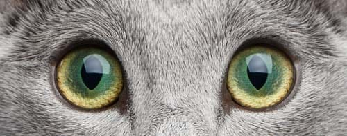 Central heterochromia in cats