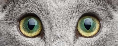 Central heterochromia in cats