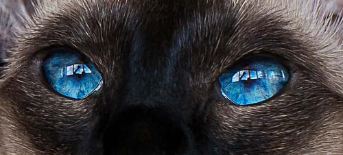 Cat with dark blue eyes