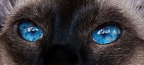 Cat with dark blue eyes
