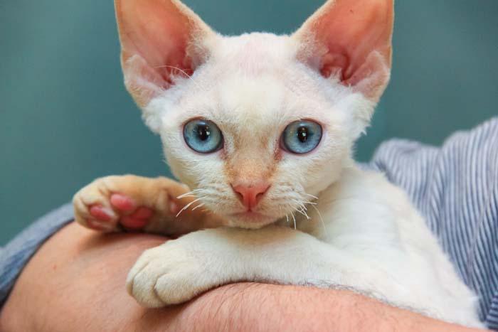 Devon Rex with blue eyes