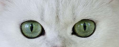 Cat with green eyes