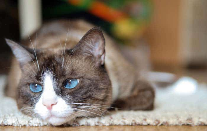 Snowshoe Cat Breed Profile 1