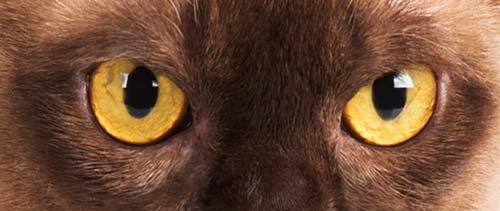 Yellow gold eye colour in cats