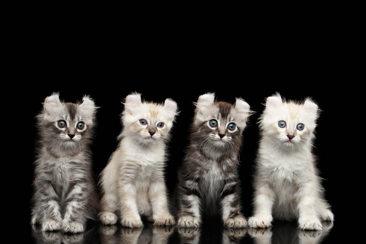 White Breeds of Cat With Pictures 1