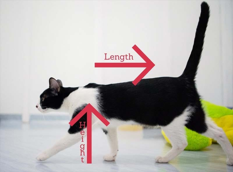 Average height of a cat