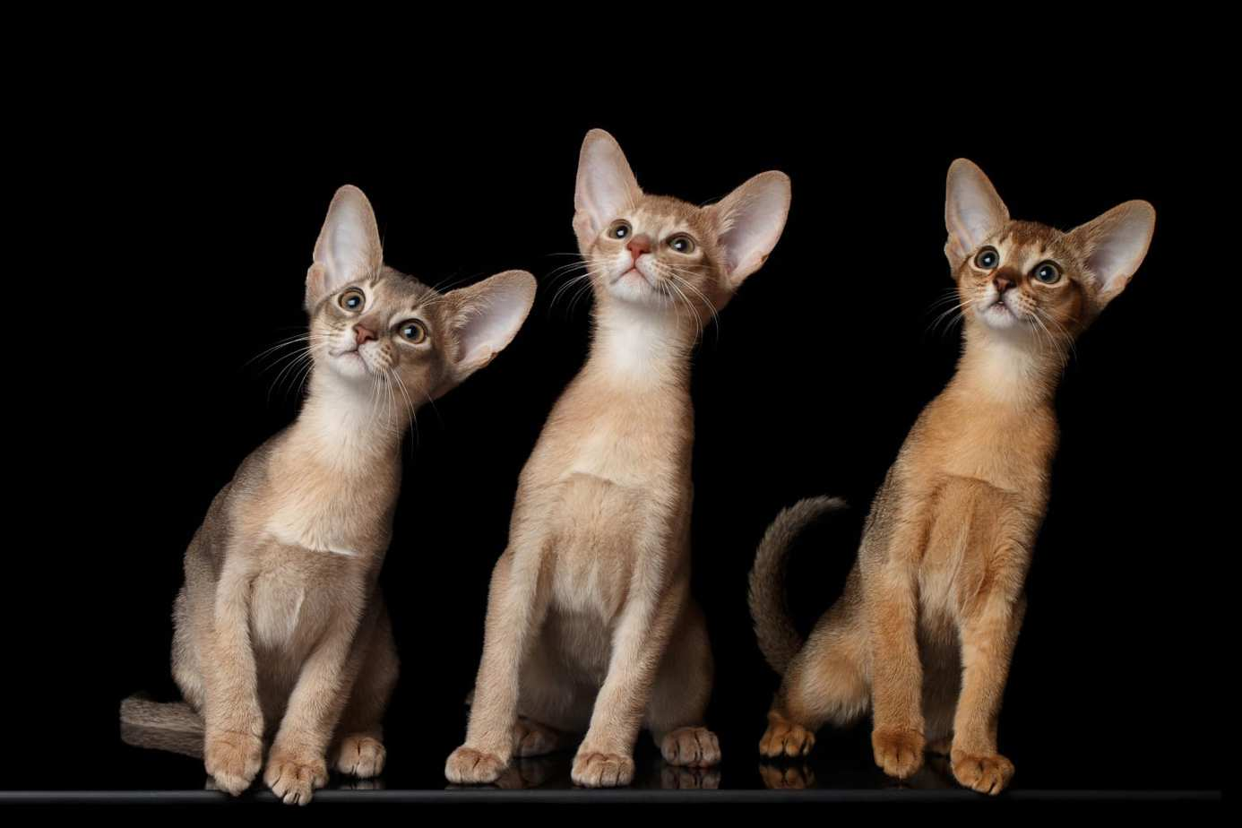 Three Abyssinian kittens