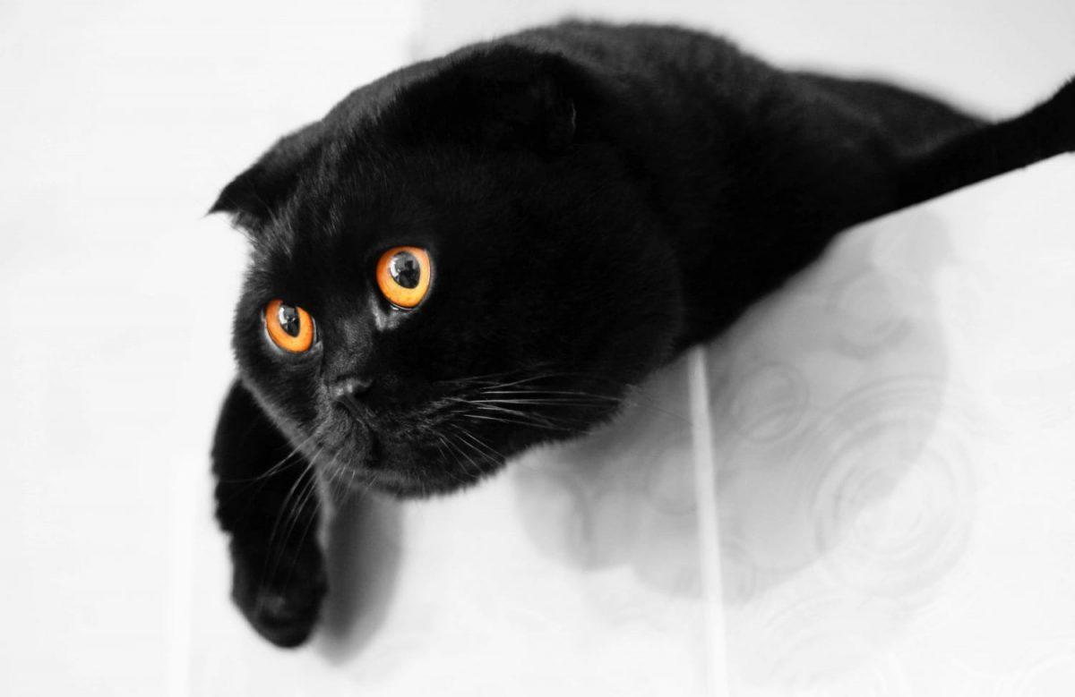 Black Scottish Shorthair cat