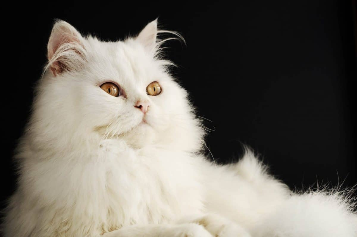 How Did The Longhaired Cat Occur?