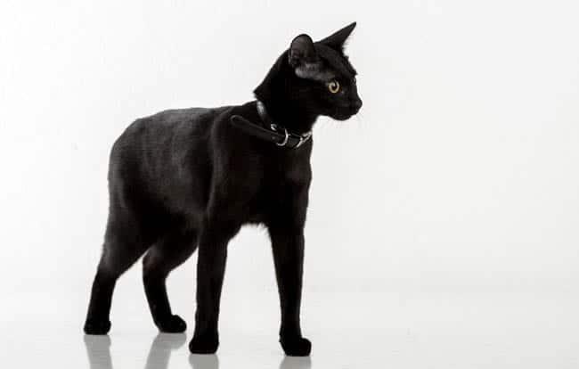 Black Bombay cat