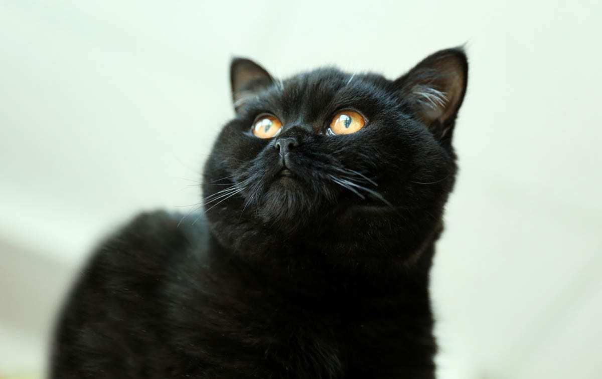 Black British Shorthair