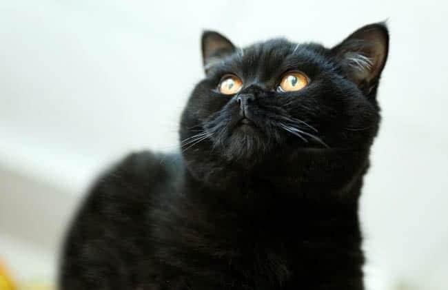Black British Shorthair cat