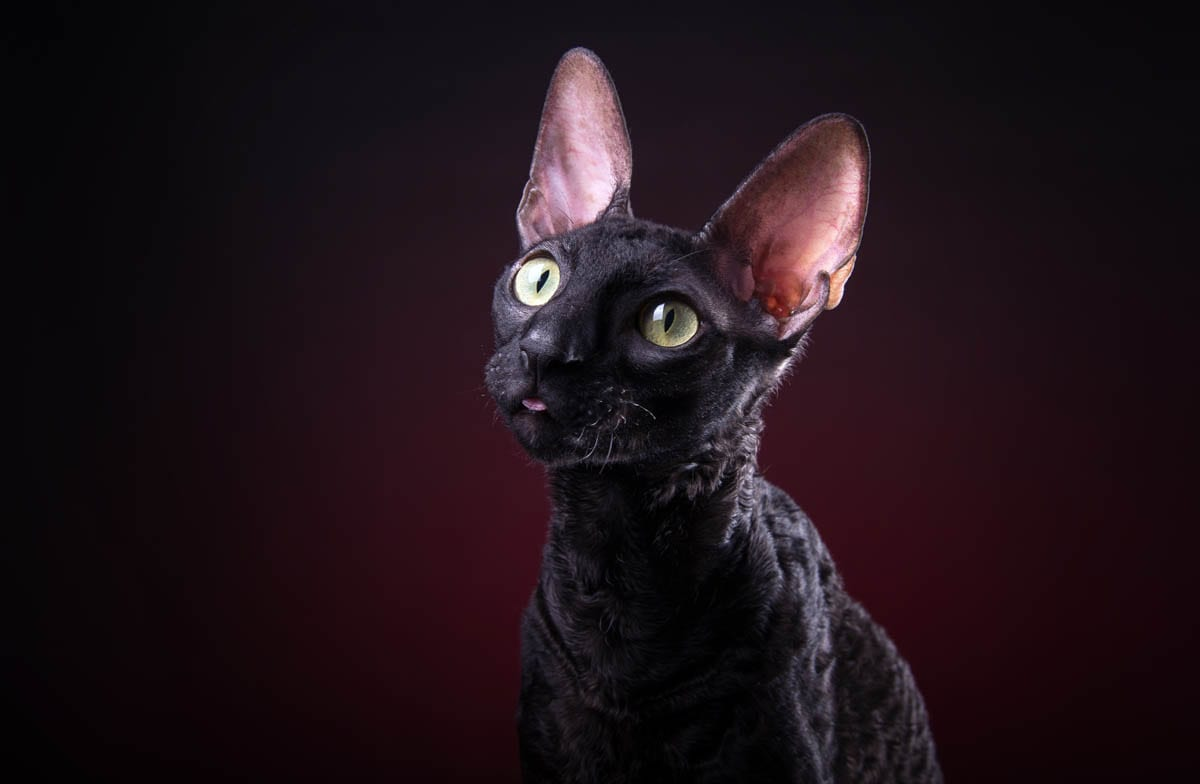 Black Cornish Rex