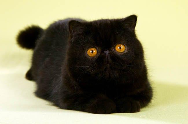 Black exotic cat