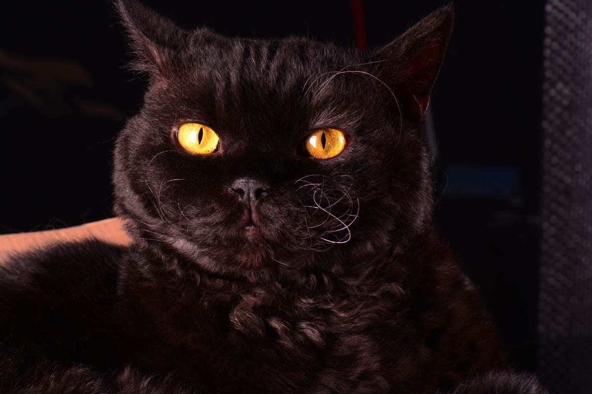 Black Selkirk Rex