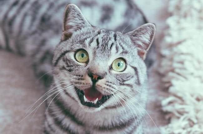 Cat panting