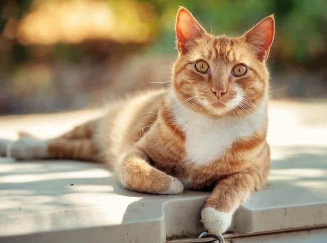 Ginger and white cat