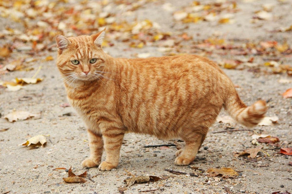 Ginger mackerel tabby