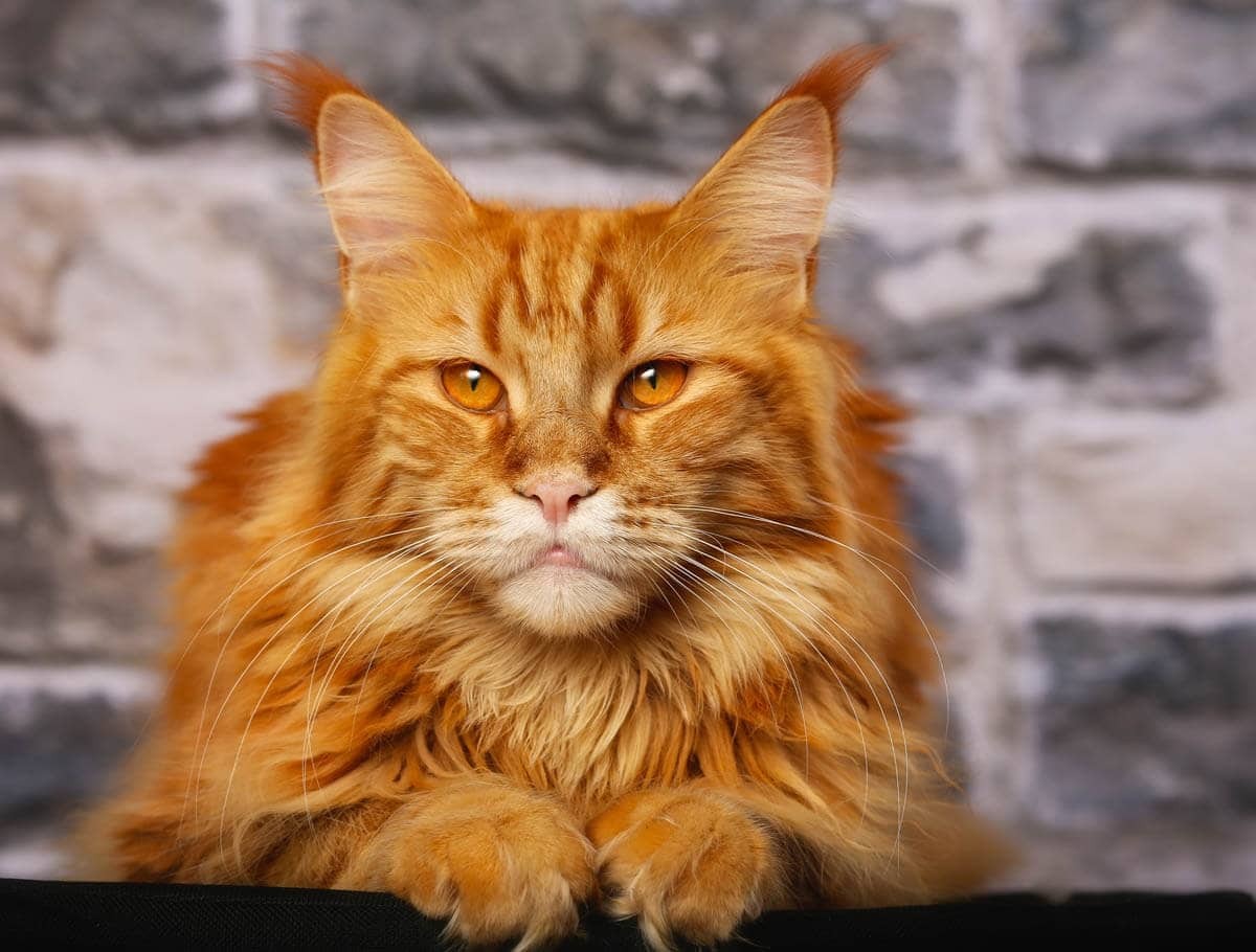 All About Ginger Cats