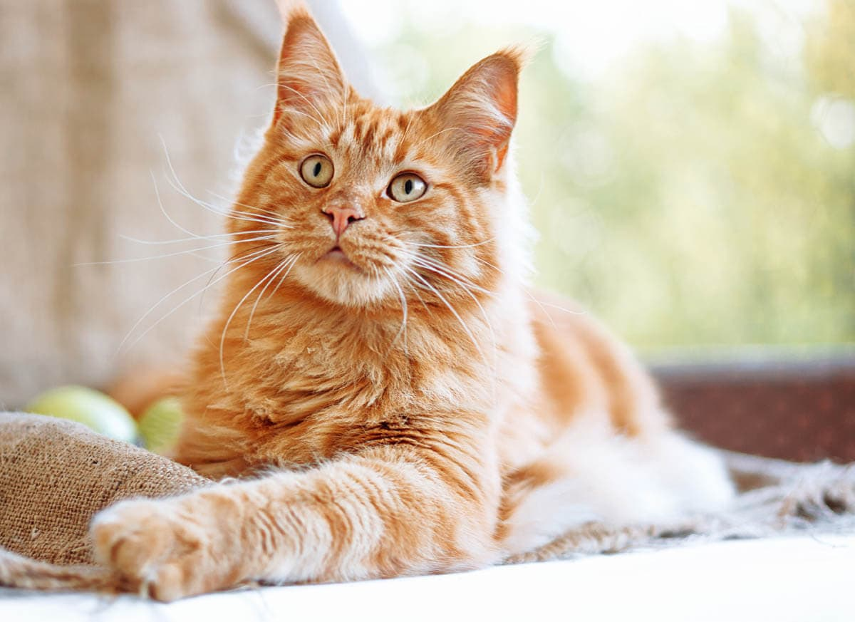 Ginger tabby Maine Coon