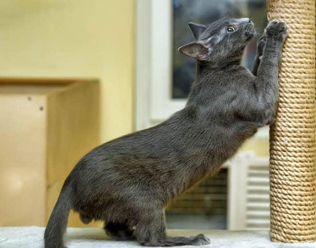 Grey cat scratching a cat scratching post