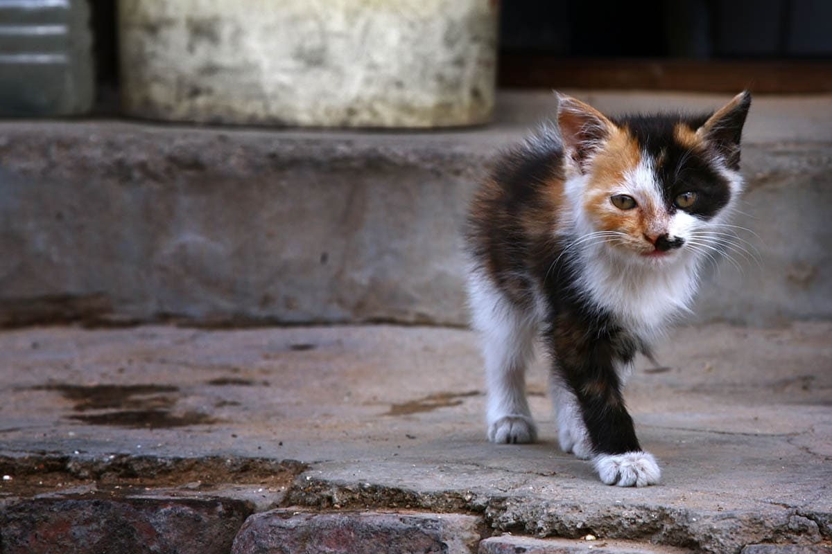 Homeless calico kitten