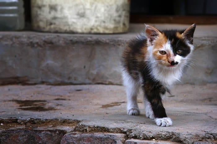 Homeless calico kitten