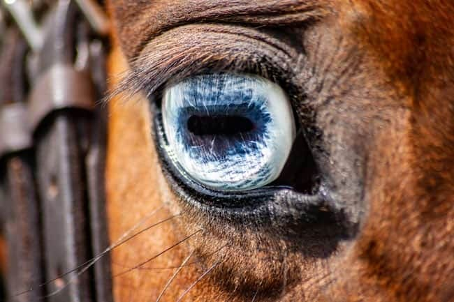 Horizontal pupil in a horse eye