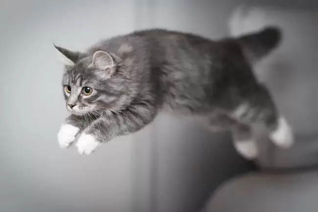 How far can a cat jump?
