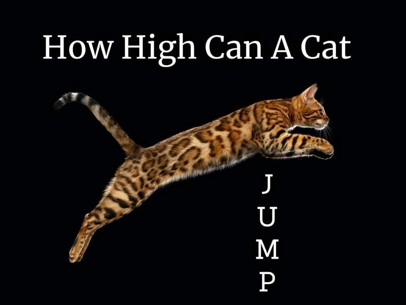 How high can a cat jump?