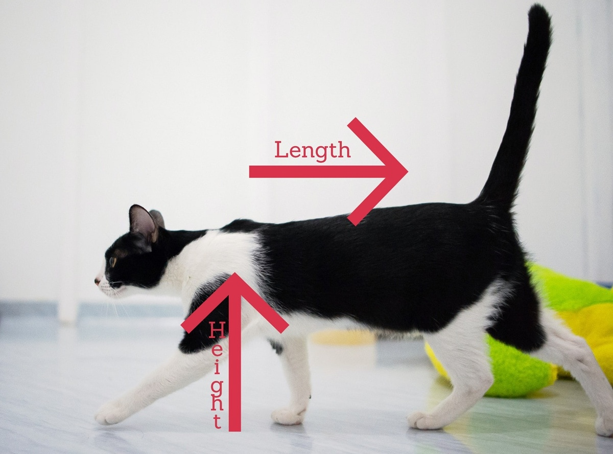 How tall is the average cat