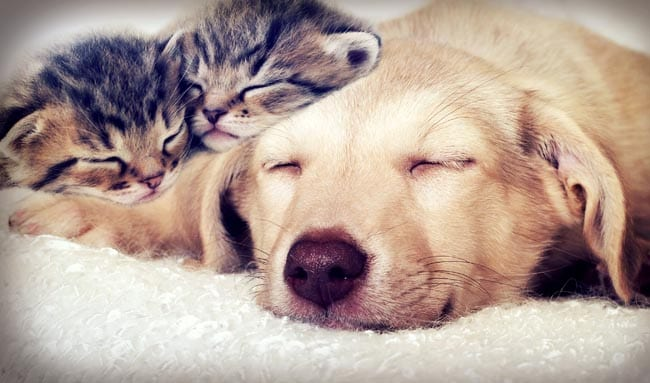 Kittens asleep with a dog