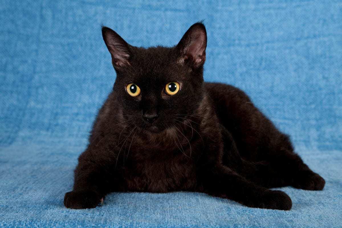 Black LaPerm cat