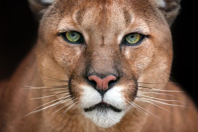 Large cats have round pupils