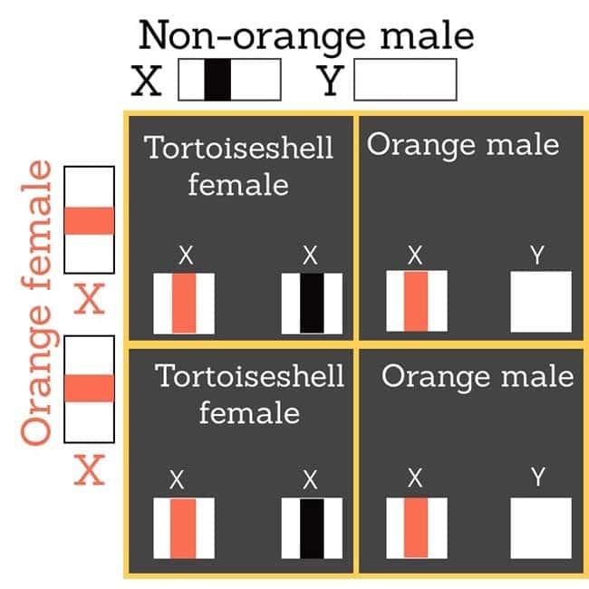 Orange female mates with non-orange male