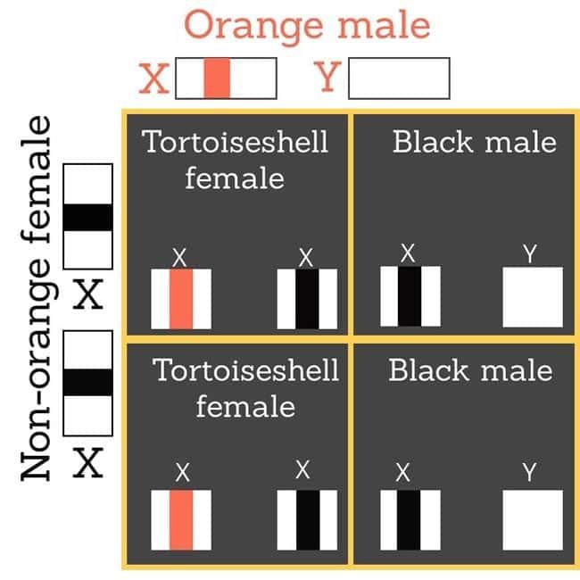 Orange male cat mates with non-orange female