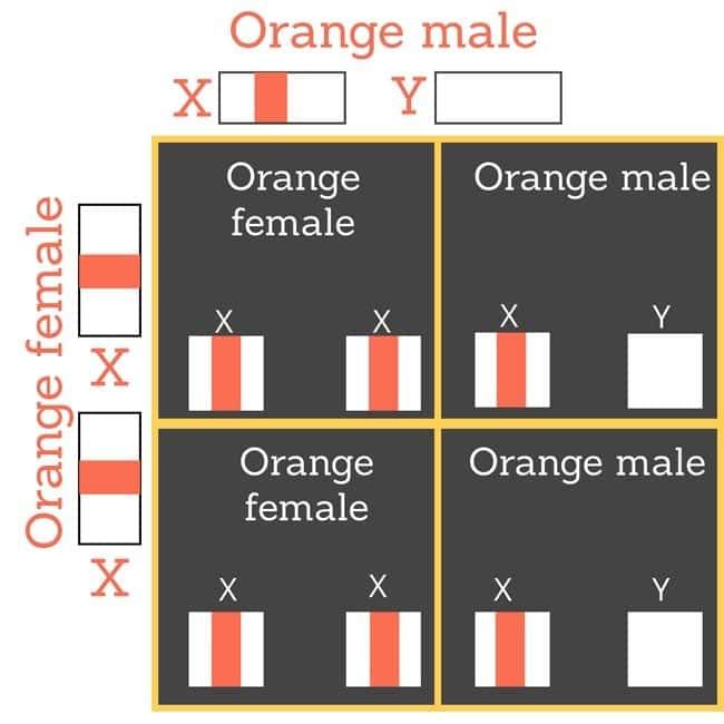 Orange female mates with orange male cat