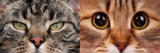 Constricted and dilated pupils in cats