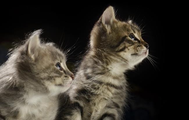 Socialisation window of kittens