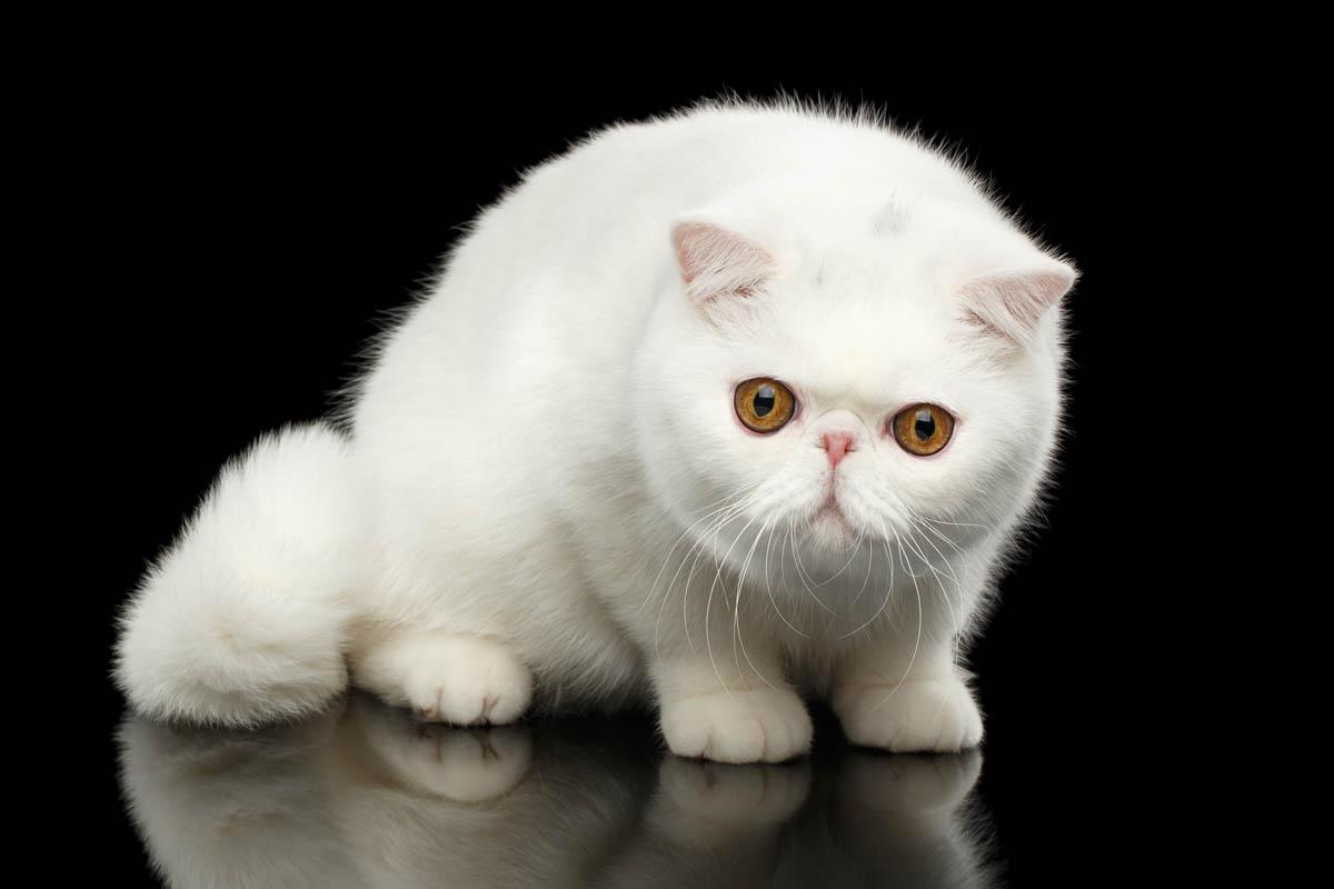White exotic cat