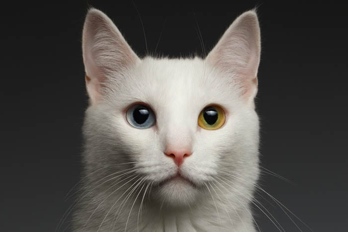White breeds of cat